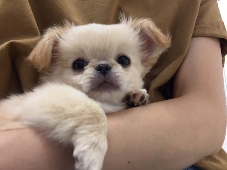 ライター榎本洋子さんの愛犬 『おでこ』ちゃん 幼少期