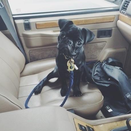 フォトグラファー魚地武大さんの愛犬 黒パグ