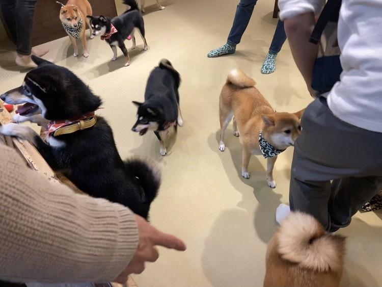 入店後の柴犬たち