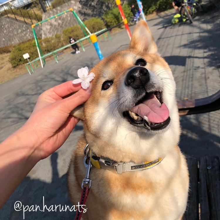 愛犬ナッツとお花見散歩♪_1