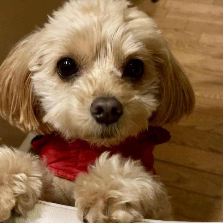エディターズピック、第33回は愛犬チワプーのルークです。 _3