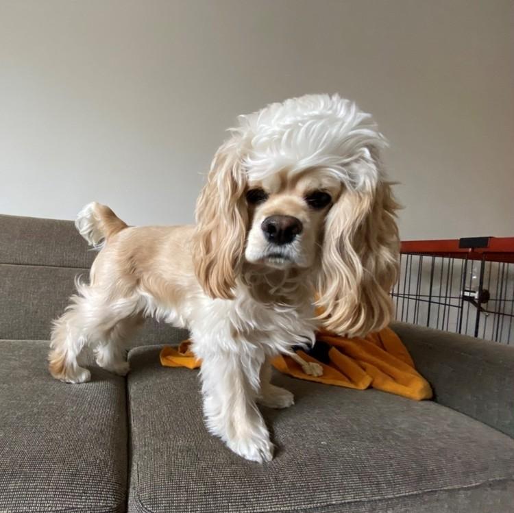 バイラ編集部ちゃんまいの愛犬 毛量マックス