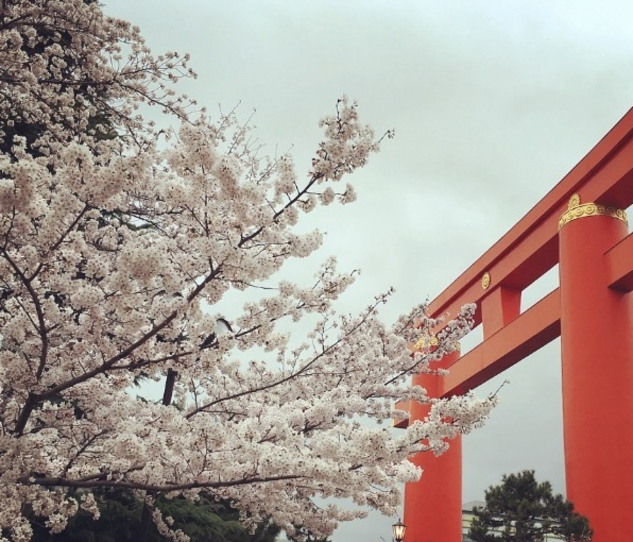 京都へお花見