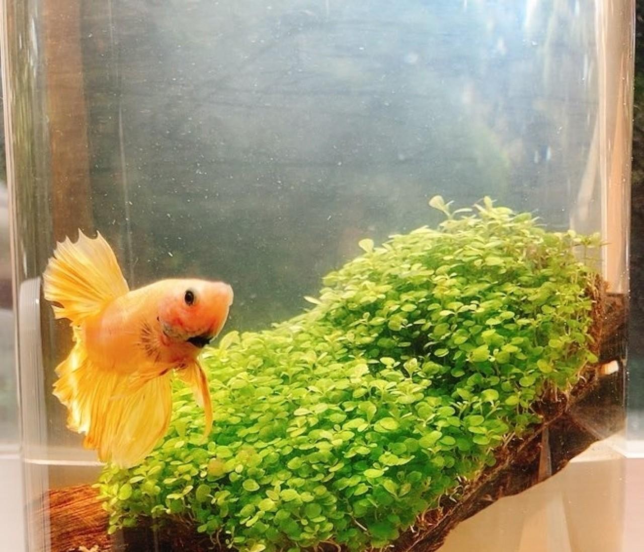アクアリウム生活!熱帯魚飼い始めました。
